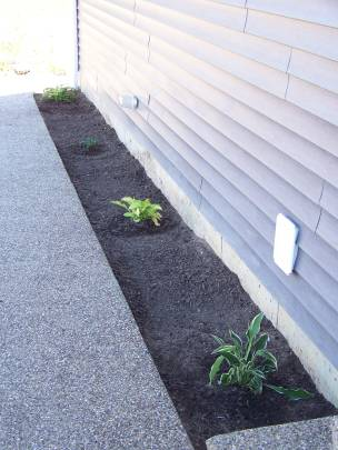 Four hostas, which will have neighbors soon.
