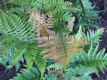 Autumn fern--aren't the colors gorgeous
